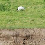 ibis_jh_2